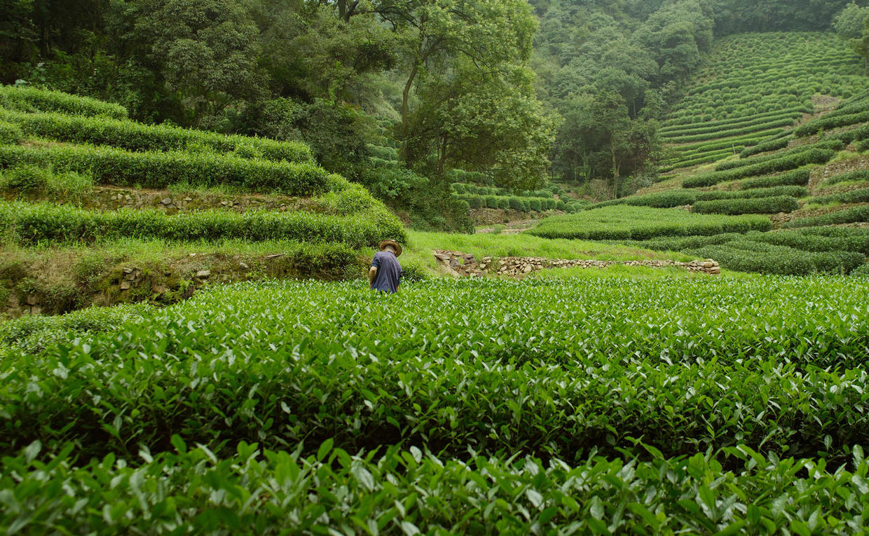 Amanfayun, China - Tea Plantations