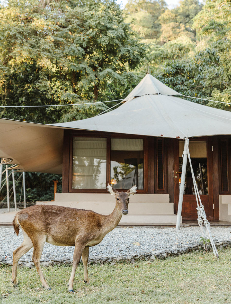 Deer Outside Jungle Tent - Amanwana, Moyo Island, Indonesia